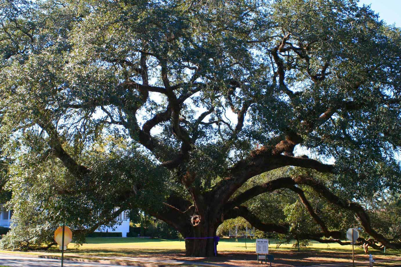 Visit the Big Oak Tree - Over 300 Years Old!